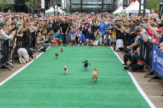 Running of the Chihuahuas for Cinco de Mayo in Washington, D.C.
